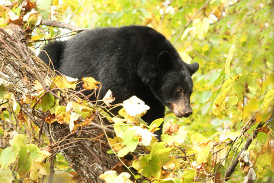 Bear Coming down the Tree at Roaring Forks