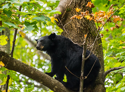 A mother black bear nimbly navigates the branches of a large maple tree while her cubs hide behind the trunk in the Great Smoky Mountains National Park in East Tennessee