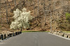A brilliant white blooming tree at the top of South Holston Dam in Bristol, TN on Saturday, April 5, 2014. Copyright 2014 Jason Barnette
