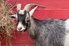 One of the many goats inside the petting area at Warner Park Ranch inside the Chattanooga Zoo in Chattanooga, TN on Monday, July 20, 2015. Copyright 2015 Jason Barnette