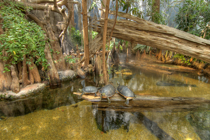 A trio of turtles perched on a log at Alligator Bayou inside the River Journey building at the Tennessee Aquarium in Chattanooga, TN on Friday, July 17, 2015. Copyright 2015 Jason Barnette  Photos of the Tennessee Aquarium are available for licensing for editorial use in newspapers and magazines, however these photos are not available for print sales.