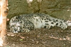 A sleepy snow leopard at the Chattanooga Zoo in Chattanooga, TN on Monday, July 20, 2015. Copyright 2015 Jason Barnette