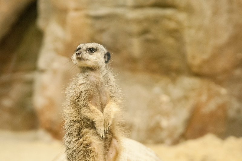 A photogenic meerkat poses at the Chattanooga Zoo in Chattanooga, TN on Monday, July 20, 2015. Copyright 2015 Jason Barnette