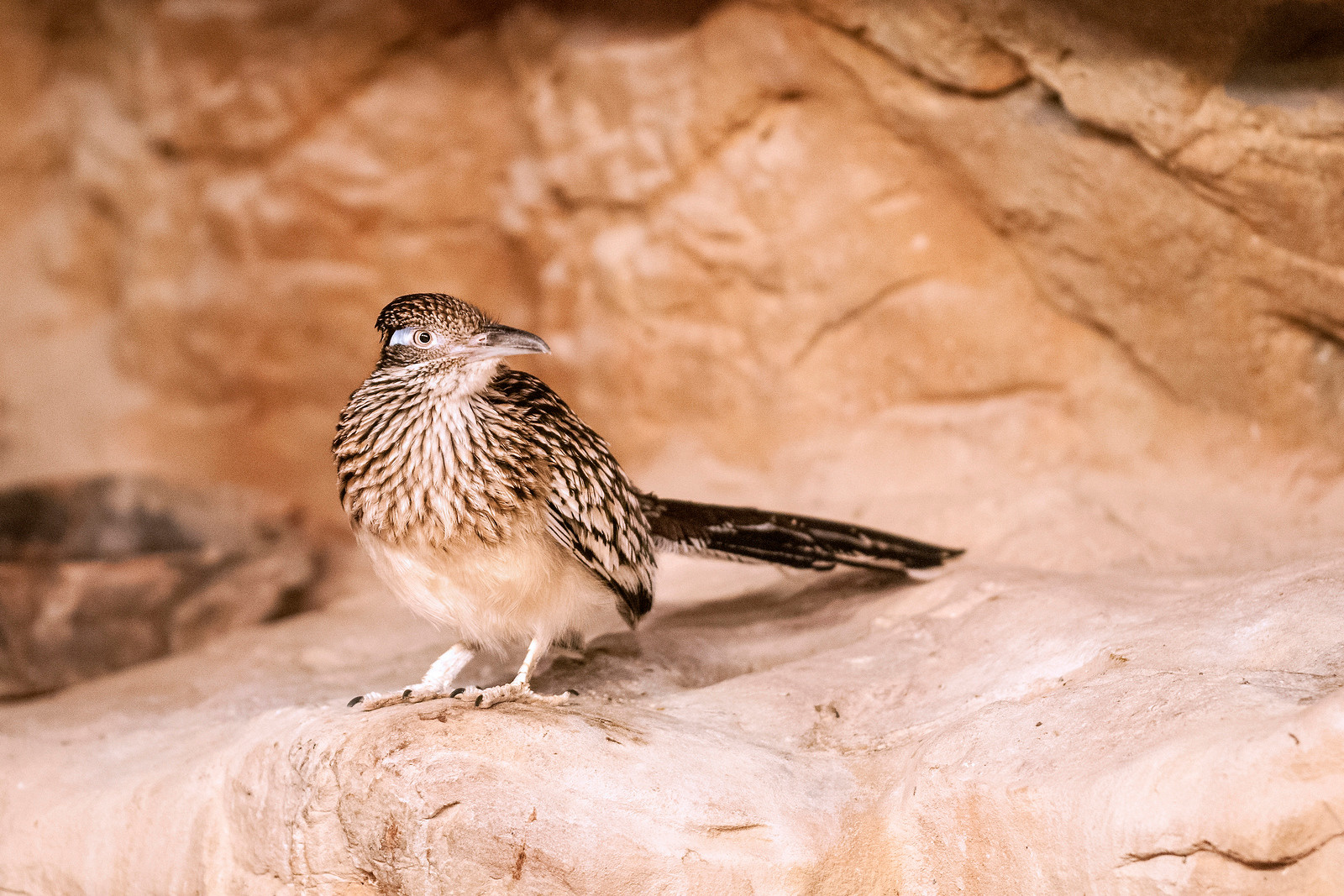 A roadrunner pauses just long enough for a photo at the Chattanooga Zoo in Chattanooga, TN on Monday, July 20, 2015. Copyright 2015 Jason Barnette