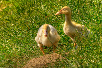 A pair of ducklings walk on the shore of the Doe River in downtown Elizabethton, TN on Sunday, May 6, 2012. Copyright 2012 Jason Barnette