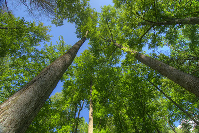 Towering trees along the Rock Creek Falls Trail at Rock Creek Recreation Area in Erwin, TN on Saturday, June 13, 2015. Copyright 2015 Jason Barnette