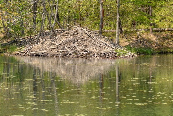A beaver lodge on the lake at Bays Mountain Park and Planetarium in Kingsport, TN on Saturday, May 2, 2015. Copyright 2015 Jason Barnette