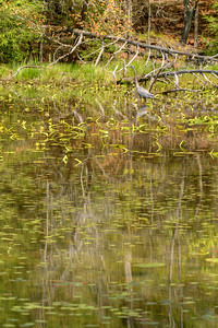 A Great Blue Heron walks through the shallow water at the edge of the lake at Bays Mountain Park and Planetarium in Kingsport, TN on Saturday, May 2, 2015. Copyright 2015 Jason Barnette