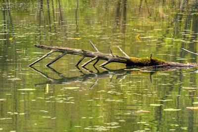 A fallen tree protrudes from the lake at Bays Mountain Park and Planetarium in Kingsport, TN on Saturday, May 2, 2015. Copyright 2015 Jason Barnette