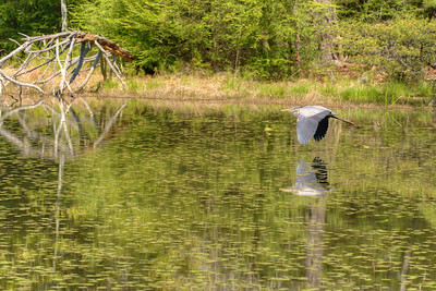 A Great Blue Heron flies across the lake at Bays Mountain Park and Planetarium in Kingsport, TN on Saturday, May 2, 2015. Copyright 2015 Jason Barnette