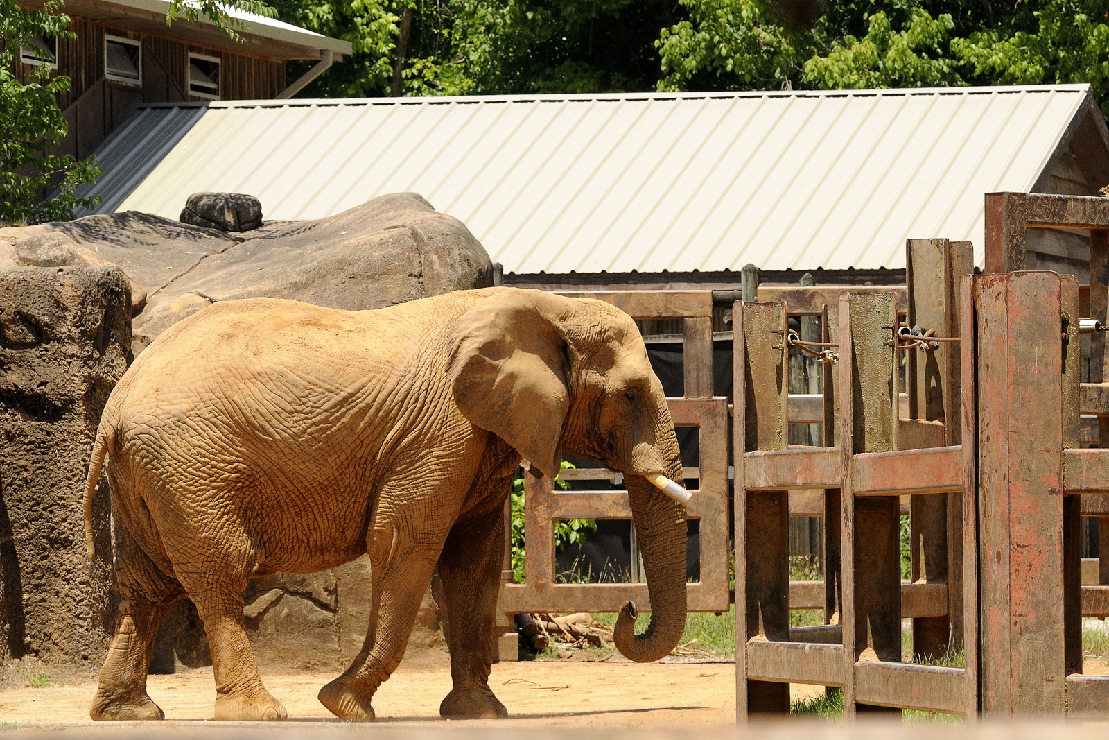 An elephant roams around it's area at the Knoxville Zoo in Knoxville, TN on Saturday, June 7, 2014. Copyright 2014 Jason Barnette