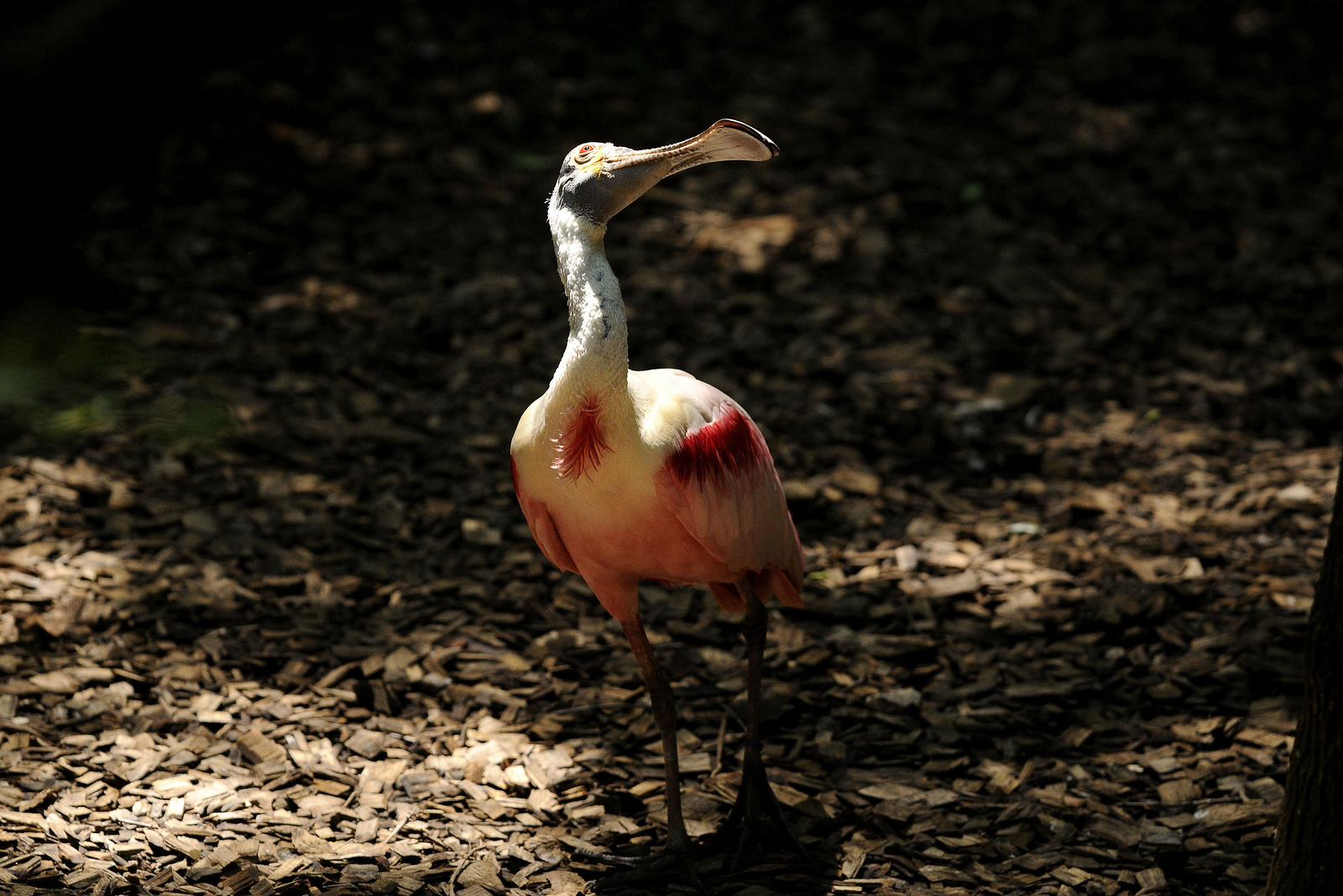 A spoonbill at the Knoxville Zoo in Knoxville, TN on Saturday, June 7, 2014. Copyright 2014 Jason Barnette