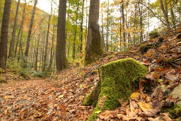 Fallen leaves surround a moss-covered tree stump on the Laurel Creek Trail along Highway 91 in Laurel Bloomery, TN on Monday, October 20, 2014. Copyright 2014 Jason Barnette