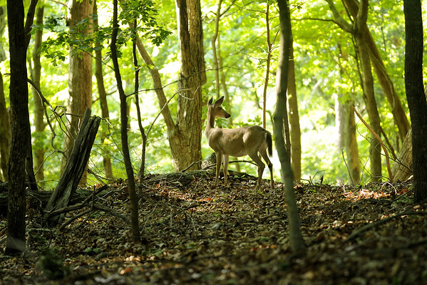 A deer roams through the forest along the Point Lookout Trail at Panther Creek State Park in Morristown, TN on Tuesday, May 28, 2013. Copyright 2013 Jason Barnette