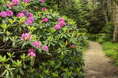 Blooming catawba rhododendron along the Cloudland Trail leading to Roan High Bluff on Roan Mountain near the town of Roan Mountain, TN on Sunday, June 14, 2015. Copyright 2015 Jason Barnette  Roan Mountain straddles the border between the towns of Roan Mountain, Tennessee and Bakersville, North Carolina. The top of the mountain is known for having the largest natural rhododendron gardens in the country, maintained and operated by the National Forest Service. The recreation area includes hiking trails, the gardens, scenic overlooks, and the Appalachian Trail.