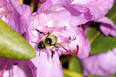A bumblebee works inside a blooming rhododendron at the Rhododendron Gardens on Roan Mountain near the town of Roan Mountain, TN on Sunday, June 14, 2015. Copyright 2015 Jason Barnette  Roan Mountain straddles the border between the towns of Roan Mountain, Tennessee and Bakersville, North Carolina. The top of the mountain is known for having the largest natural rhododendron gardens in the country, maintained and operated by the National Forest Service. The recreation area includes hiking trails, the gardens, scenic overlooks, and the Appalachian Trail.