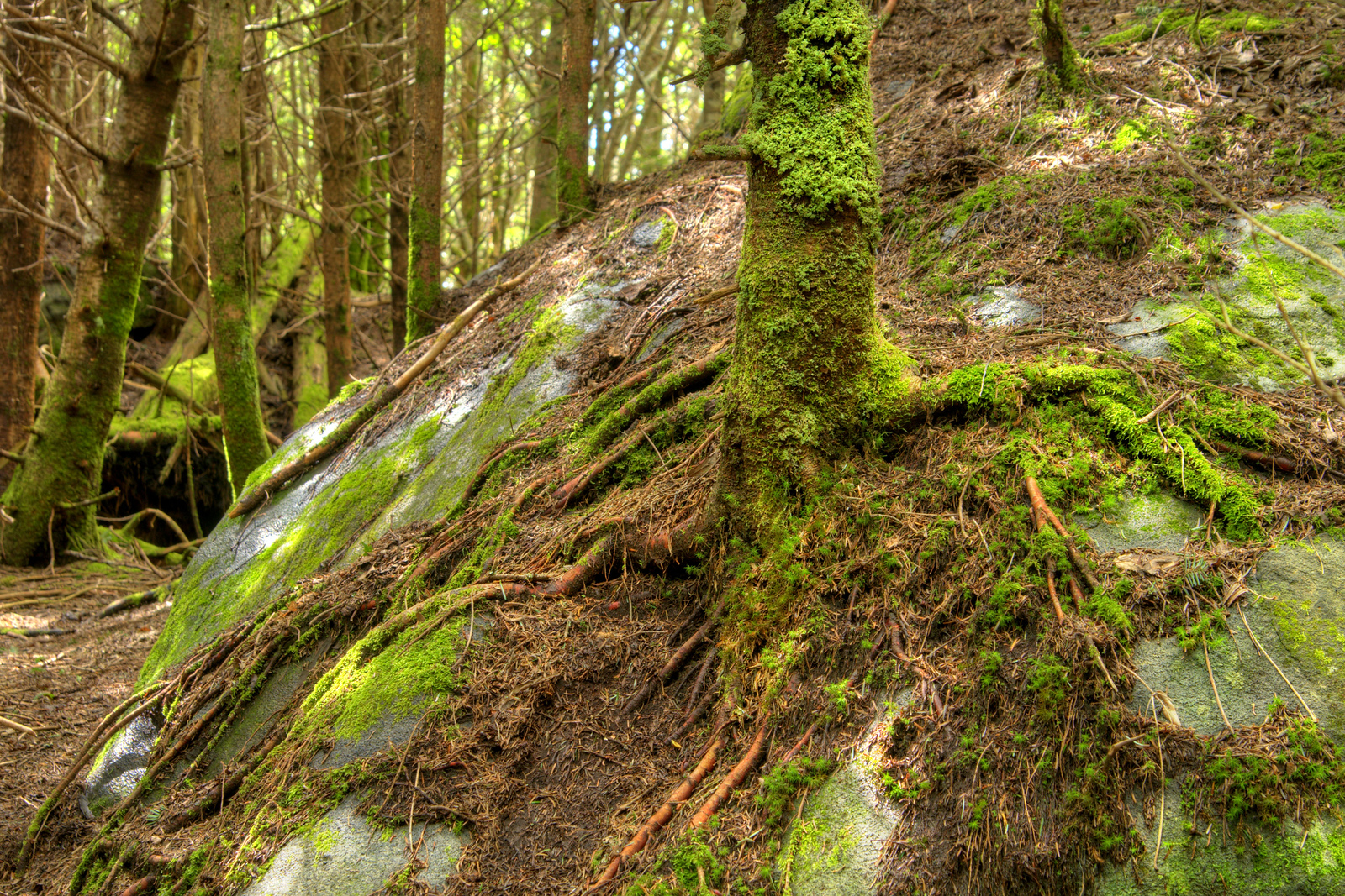 With very little soil, a tree has grown atop a large boulder along the Cloudland Trail leading to Roan High Bluff on Roan Mountain near the town of Roan Mountain, TN on Sunday, June 14, 2015. Copyright 2015 Jason Barnette Roan Mountain straddles the border between the towns of Roan Mountain, Tennessee and Bakersville, North Carolina. The top of the mountain is known for having the largest natural rhododendron gardens in the country, maintained and operated by the National Forest Service. The recreation area includes hiking trails, the gardens, scenic overlooks, and the Appalachian Trail.