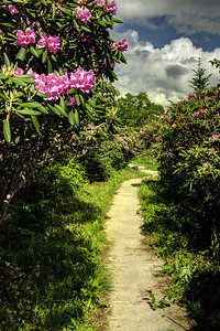 A simple dirt path winds through the lower sections of the Rhododendron Gardens on Roan Mountain near the town of Roan Mountain, TN on Sunday, June 14, 2015. Copyright 2015 Jason Barnette  Roan Mountain straddles the border between the towns of Roan Mountain, Tennessee and Bakersville, North Carolina. The top of the mountain is known for having the largest natural rhododendron gardens in the country, maintained and operated by the National Forest Service. The recreation area includes hiking trails, the gardens, scenic overlooks, and the Appalachian Trail.