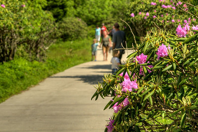 People enjoy a walk along concrete paths in the Rhododendron Gardens on Roan Mountain near the town of Roan Mountain, TN on Sunday, June 14, 2015. Copyright 2015 Jason Barnette  Roan Mountain straddles the border between the towns of Roan Mountain, Tennessee and Bakersville, North Carolina. The top of the mountain is known for having the largest natural rhododendron gardens in the country, maintained and operated by the National Forest Service. The recreation area includes hiking trails, the gardens, scenic overlooks, and the Appalachian Trail.