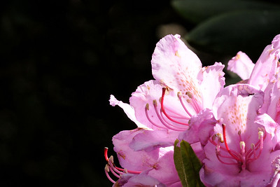 A blooming rhododendron at the Rhododendron Gardens on Roan Mountain near the town of Roan Mountain, TN on Sunday, June 14, 2015. Copyright 2015 Jason Barnette  Roan Mountain straddles the border between the towns of Roan Mountain, Tennessee and Bakersville, North Carolina. The top of the mountain is known for having the largest natural rhododendron gardens in the country, maintained and operated by the National Forest Service. The recreation area includes hiking trails, the gardens, scenic overlooks, and the Appalachian Trail.