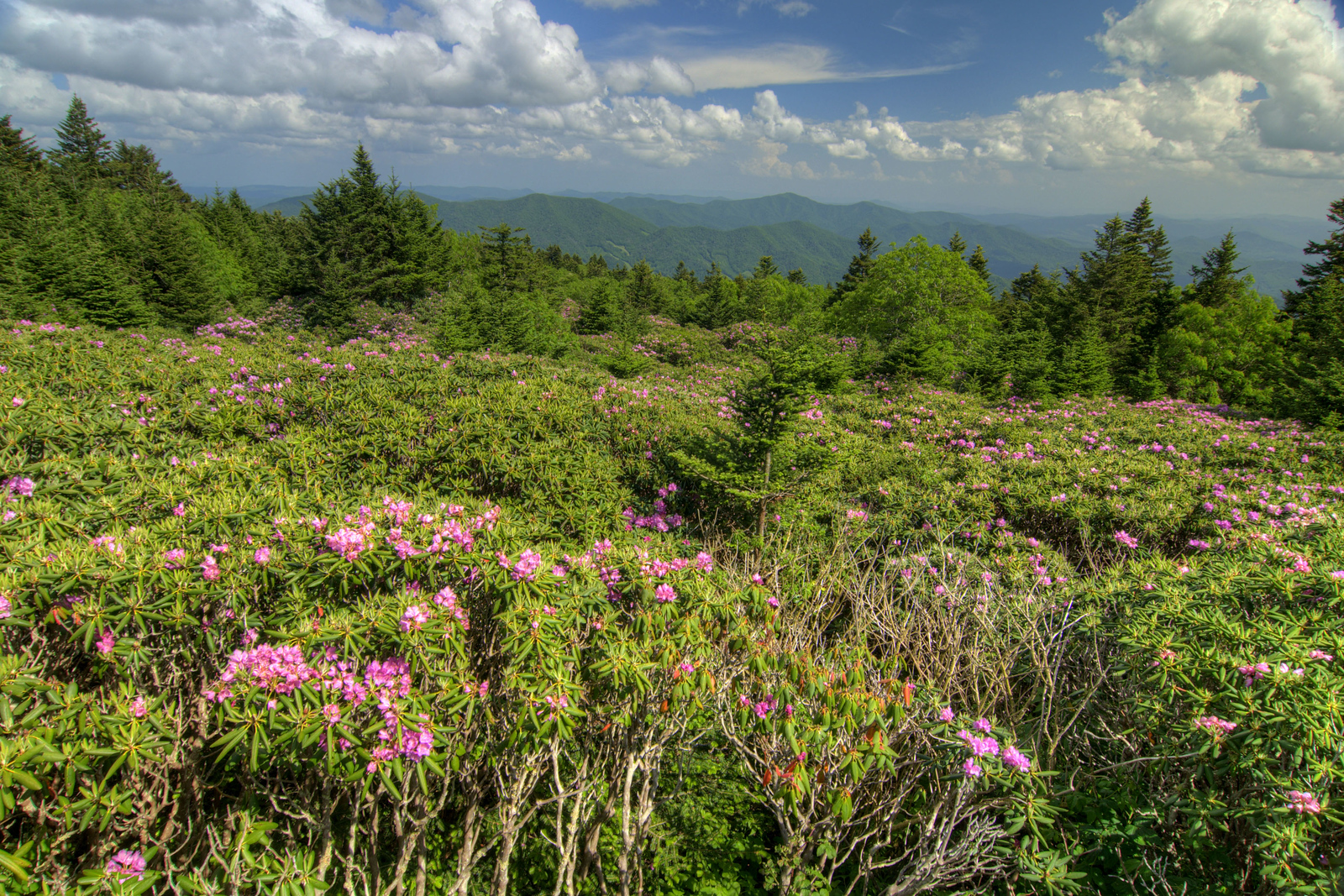 Blooming rhododendron with a view of distant mountains at the Rhododendron Gardens on Roan Mountain near the town of Roan Mountain, TN on Sunday, June 14, 2015. Copyright 2015 Jason Barnette Roan Mountain straddles the border between the towns of Roan Mountain, Tennessee and Bakersville, North Carolina. The top of the mountain is known for having the largest natural rhododendron gardens in the country, maintained and operated by the National Forest Service. The recreation area includes hiking trails, the gardens, scenic overlooks, and the Appalachian Trail.