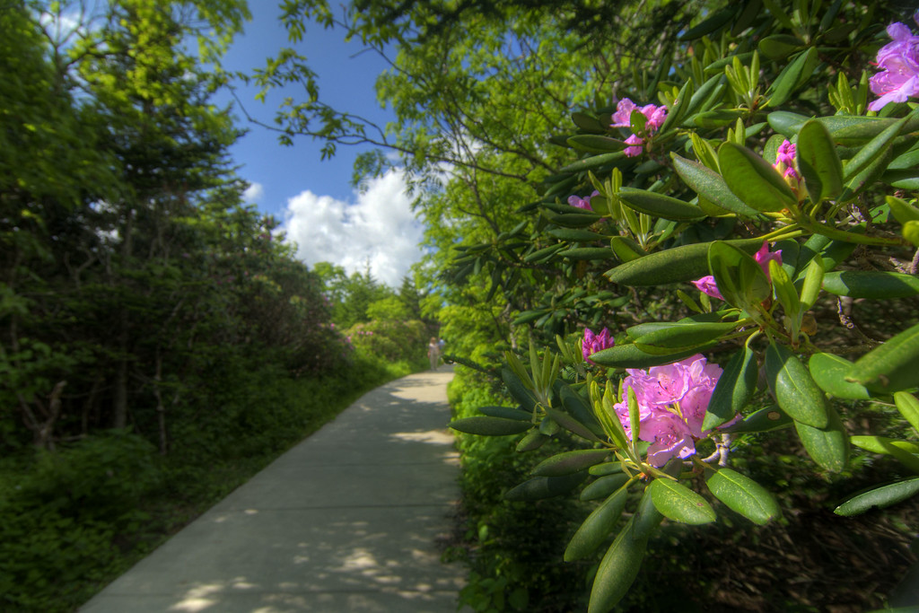 Blooming rhododendron along the concrete path at the Rhododendron Gardens on Roan Mountain near the town of Roan Mountain, TN on Sunday, June 14, 2015. Copyright 2015 Jason Barnette Roan Mountain straddles the border between the towns of Roan Mountain, Tennessee and Bakersville, North Carolina. The top of the mountain is known for having the largest natural rhododendron gardens in the country, maintained and operated by the National Forest Service. The recreation area includes hiking trails, the gardens, scenic overlooks, and the Appalachian Trail.