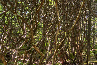 An interweaving pattern of branches from rhododendron bushes along the Cloudland Trail leading to Roan High Bluff on Roan Mountain near the town of Roan Mountain, TN on Sunday, June 14, 2015. Copyright 2015 Jason Barnette  Roan Mountain straddles the border between the towns of Roan Mountain, Tennessee and Bakersville, North Carolina. The top of the mountain is known for having the largest natural rhododendron gardens in the country, maintained and operated by the National Forest Service. The recreation area includes hiking trails, the gardens, scenic overlooks, and the Appalachian Trail.