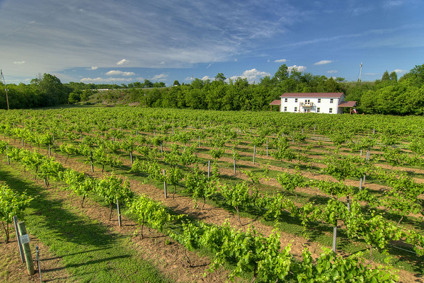 The view of the long rows of vines and the tasting room from the second story of the gazebo at Nolichucky Vineyard in Russellville, TN on Friday, June 6, 2014. Copyright 2014 Jason Barnette