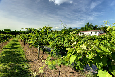 The long rows of the 4-acre Nolichucky Vineyard in Russellville, TN on Friday, June 6, 2014. Copyright 2014 Jason Barnette
