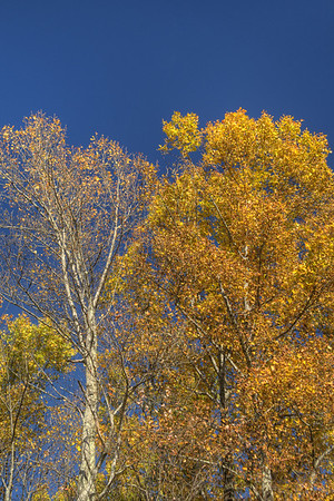 Brilliant fall colors along Highway 421 in Shady Valley, TN on Monday, October 20, 2014. Copyright 2014 Jason Barnette