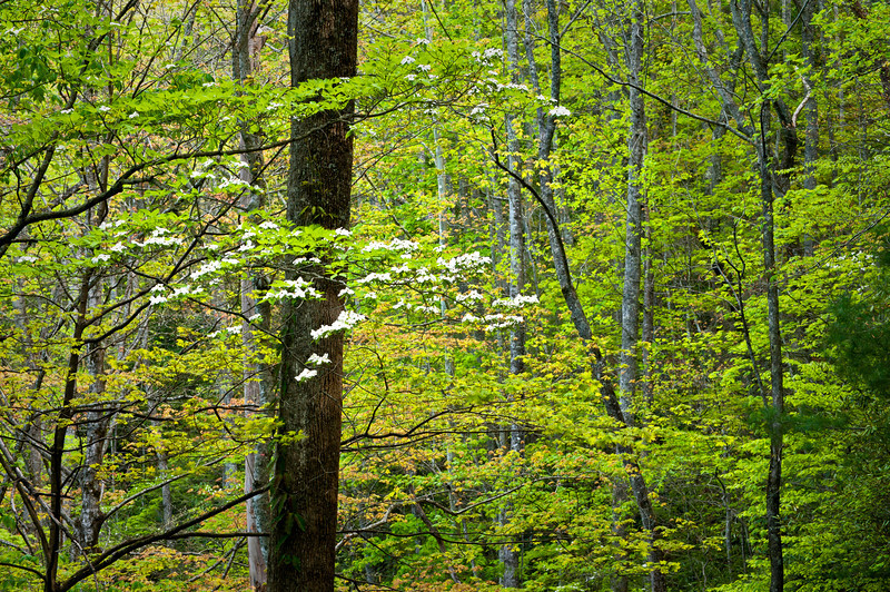 GSM 025                       <br />  Dogwoods bloom in the spring woods of Great Smoky Mountains National Park, Tennessee.