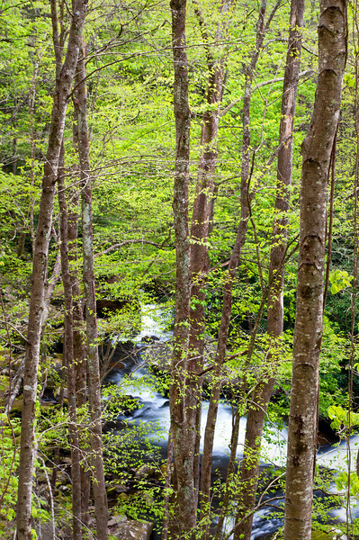 GSM 044                          <br /> The Middle Prong of the Little River winds it's way through Smoky Mountains National Park near Townsend, Tennessee.