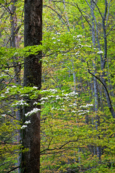 GSM 024                         <br /> Dogwoods bloom in the spring woods of Great Smoky Mountains National Park, Tennessee.