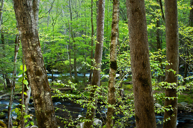 GSM 007                   <br /> A view through the trees of the Middle Prong of the Little River as it flows through Great Smoky Mountains National Park, Tennessee.