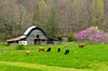 An old barn, cattle in the pasture with spring budding trees near Bryson City, North Carolina, USA.