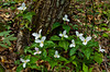 White trillium in the forests of The Great Smoky Mountains National Park.