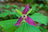 The red trillium in the forests of The Great Smoky Mountains National Park, USA.