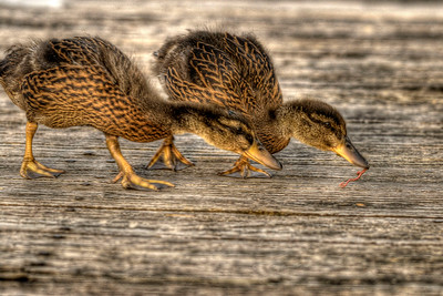A pair of baby geese walk along a fishing pier at Warriors Path State Park in Kingsport, TN on Monday, April 30, 2012. Copyright 2012 Jason Barnette
