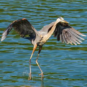 Blue Heron at Melton Dam