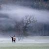Bull Elk, Morning Fog
