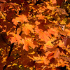 Autumn Maple