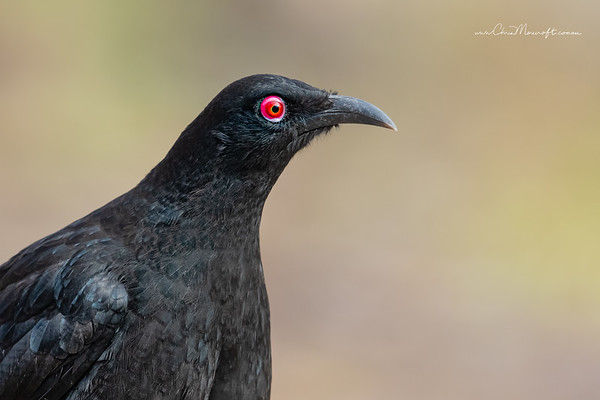 White - winged Chough, Corcorax melanoramphos