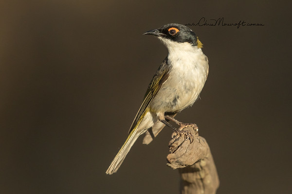 White-Naped Honeyeater, Melithreptus lunatus