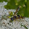 Tenthredo amoena (Sawfly)