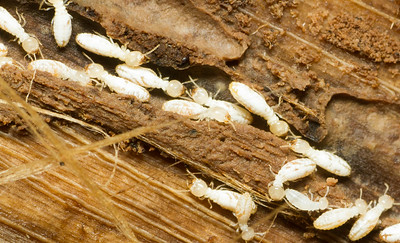 Termites (Isoptera) from Panama. Although they were once considered a separate order, recent phylogenetic studies have revealed that termites are actually a lineage of highly social roaches within the Blattodea.
