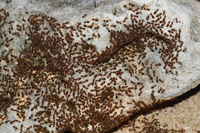 A termite column of staggering size from Koh Chang Island, Thailand. This colony stretched for dozens of meters and must have been composed of tens of thousands of individuals.
