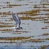 Arctic Tern - Havterne