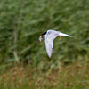 Common Tern - Fjordterne