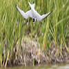 Little Tern - Dværgterne