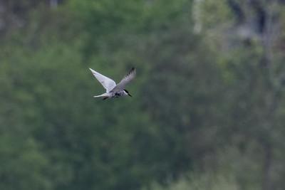 Whiskered Tern ~ Hvidskægget Terne